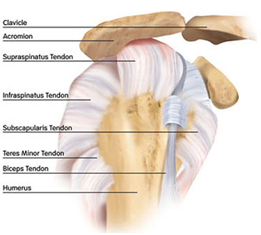 Anatomy Of Shoulder Jointsurgery